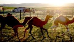 Mitgliederversammlung unter Kamelen